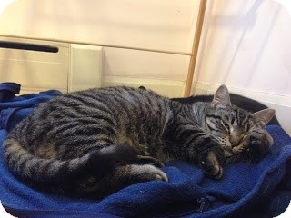 Domestic Shorthair Cat for adoption in Chicago, Illinois - Monika