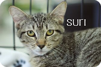 American Shorthair Cat for adoption in Wichita Falls, Texas - Suri