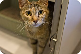 Domestic Shorthair Cat for adoption in Lincoln, Nebraska - Vanilla