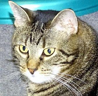 Domestic Shorthair Cat for adoption in Mt. Vernon, New York - Priscilla