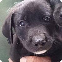 Adopt A Pet :: Souffle - Gainesville, FL