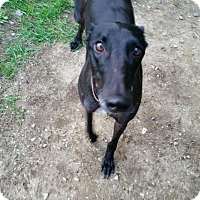 Adopt A Pet :: Carl - Swanzey, NH