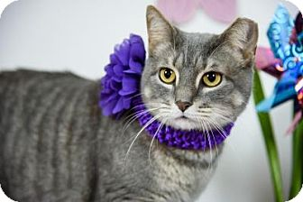 Domestic Shorthair Cat for adoption in Wayne, Pennsylvania - Ty Ty Princess