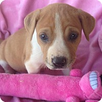 Adopt A Pet :: Sophia - Hartford, CT