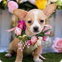 Adopt A Pet :: Gidget - Auburn, CA