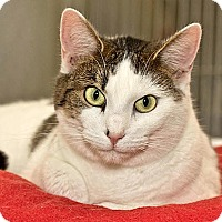 Domestic Shorthair Cat for adoption in Cashiers, North Carolina - Jade