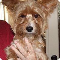 Adopt A Pet :: Goldie - Tucson, AZ