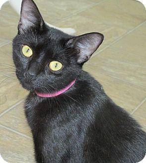 Domestic Shorthair Cat for adoption in Aiken, South Carolina - HELENA