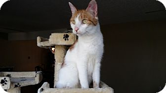 Domestic Shorthair Cat for adoption in Bartlett, Tennessee - Andi