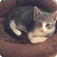 Adopt A Pet :: Figaro - Scottsdale, AZ