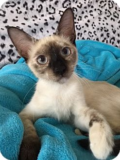 Siamese Kitten for adoption in Pasadena, Texas - Luna