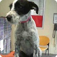 Adopt A Pet :: Roxy - North Richland Hills, TX