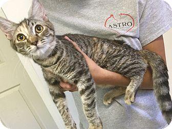 Domestic Shorthair Kitten for adoption in Oakdale, California - Natalie