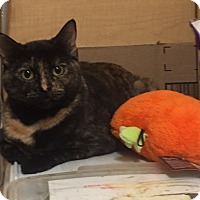 Domestic Shorthair Cat for adoption in Manchester, New Hampshire - Muffin-Meet me at Petsmart!