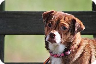 Terrier (Unknown Type, Small) Dog for adoption in Queenstown, Maryland - Wrinkles