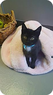 Domestic Shorthair Kitten for adoption in Brownsburg, Indiana - Pearl