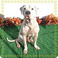 American Bulldog Mix Dog for adoption in Marietta, Georgia - BANDIT
