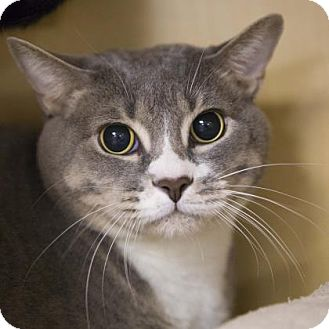 Domestic Shorthair Cat for adoption in Kettering, Ohio - Nilla Wafer