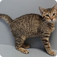 Domestic Shorthair Cat for adoption in Seguin, Texas - Julian