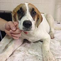 Adopt A Pet :: 6-18-16 Litter #3 - Magnolia, AR