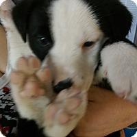 Adopt A Pet :: Krampus - Ogden, UT