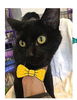 Domestic Shorthair Kitten for adoption in Paducah, Kentucky - Rooster Cogburn