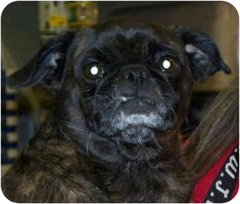 pug rescue virginia roxie adopted dog stafford va pug boston terrier mix 2302