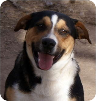 Bernese Mountain Dog/Shepherd (Unknown Type) Mix Dog for adoption in Glenpool, Oklahoma - Maverick