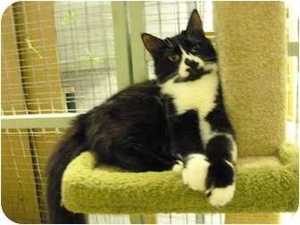 Domestic Mediumhair Cat for adoption in Mission, British Columbia - Splash