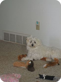 Maltese Dog for adoption in Alliance, Nebraska - Snoopy