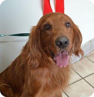 Kipper Adopted Dog Roanoke Va Golden Retriever Irish Setter Mix