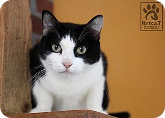 Domestic Shorthair Cat for adoption in Lancaster, Massachusetts - Mommy