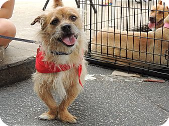 Border Terrier Mix Dog for adoption in Houston, Texas - Saint