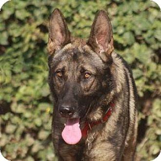 German Shepherd Dog Dog for adoption in San Diego, California - Artemis