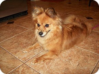 Pomeranian Mix Dog for adoption in New Windsor, New York - PIXIE DUST