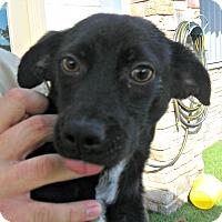 Adopt A Pet :: Herbie - white settlment, TX