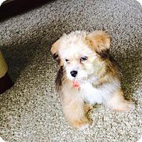Adopt A Pet :: Sophie - Toledo, OH