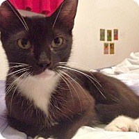 Adopt A Pet :: Chloe, Super Sweet young Cat - Brooklyn, NY