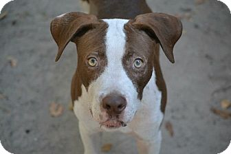 American Staffordshire Terrier Mix Dog for adoption in Houston, Texas - Milo