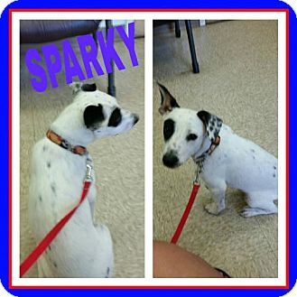 Dalmatian Mix Puppy for adoption in Fort Collins, Colorado - Sparky