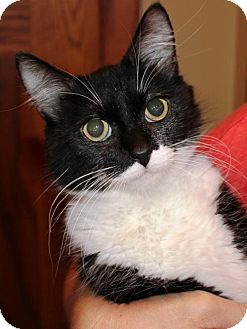 Domestic Shorthair Cat for adoption in South Saint Paul, Minnesota - Sweetie