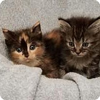Adopt A Pet :: 2 kittens - DuQuoin, IL