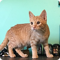 Domestic Shorthair Cat for adoption in Knoxville, Tennessee - Augusta