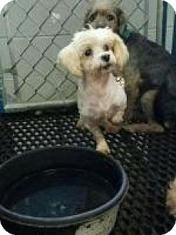 Maltese Mix Dog for adoption in Alpharetta, Georgia - RosieBrooks