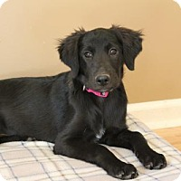 Labrador Retriever/Golden Retriever Mix Puppy for adoption in Portland, Maine - PUPPY BOUQUET