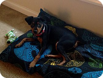 Miniature Pinscher Dog for adoption in Baltimore, Maryland - Castro (COURTESY POST)