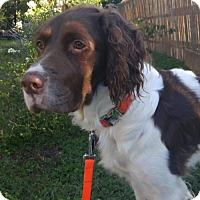 Adopt A Pet :: IA-DUKE - Brewster, MA