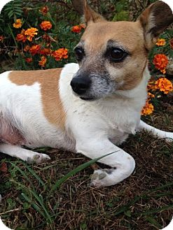 Jack Russell Terrier Mix Dog for adoption in Columbia, Tennessee - Queenie/TN