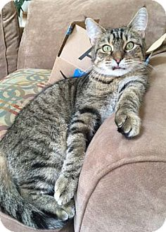 Domestic Shorthair Cat for adoption in Merrifield, Virginia - Bojangles