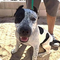 Staffordshire Bull Terrier Mix Dog for adoption in Seattle, Washington - Petie Jo